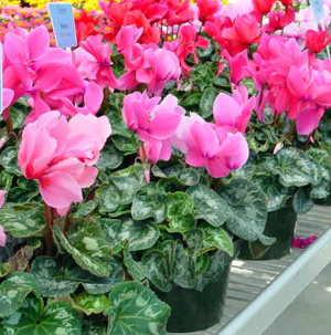 Florists Cyclamen – Cyclamen persicum and C. spp.
