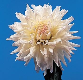 Dahlia – Dahlia spp.