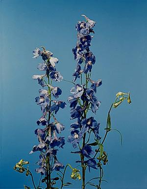 Bella Donna Delphinium – Delphinium X belladonna