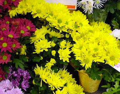 Chrysanthemum – Chrysanthemum X morifolium (Dendranthema X grandiflorum)