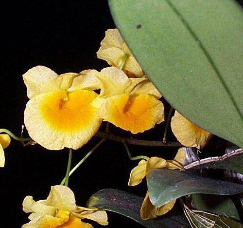 Dendrobium Orchid – Dendrobium spp.