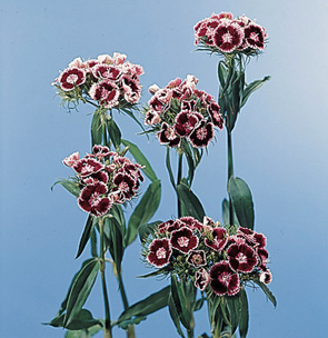 Sweet William – Dianthus barbatus