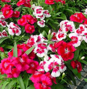Rainbow Pinks – Dianthus chinensis
