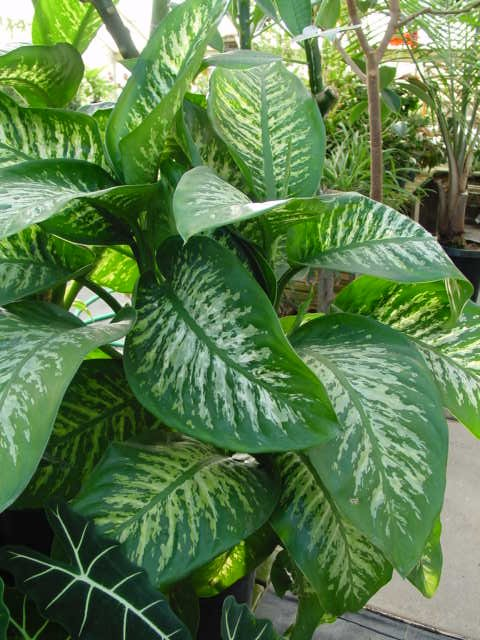 Dumb Cane – Dieffenbachia spp. (mostly D. amoena and D. maculata)