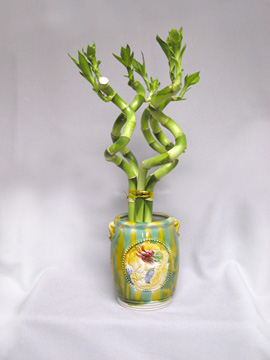 Good Luck Plant – Dracaena sanderiana