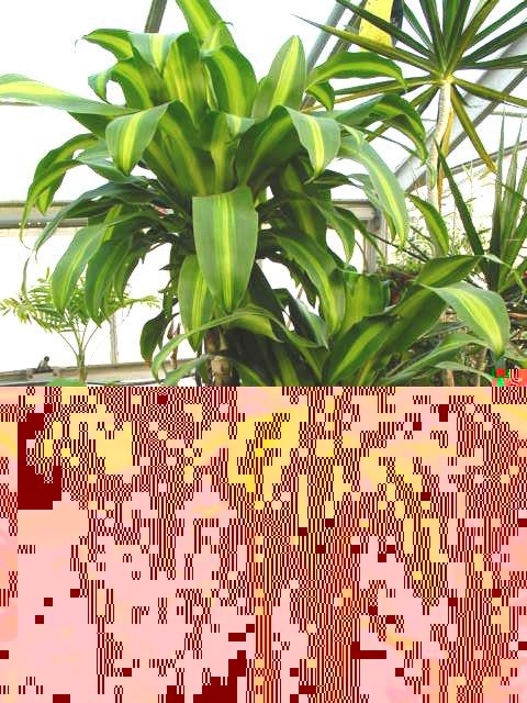 Corn Plant – Dracaena fragrans 'Massangeana'