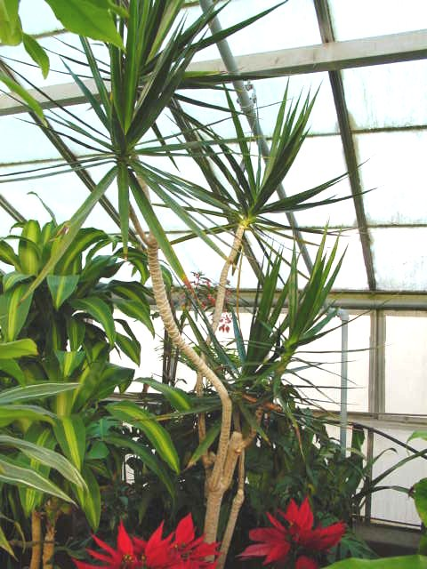 Dragon Tree Dracaena – Dracaena marginata