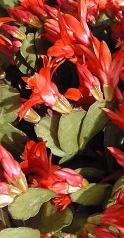 Easter Cactus – Hatiora X graeseri