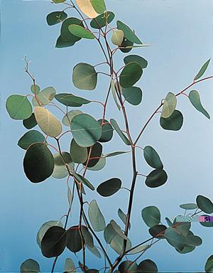 Silver Dollar – Eucalyptus polyanthemos, E. spp.