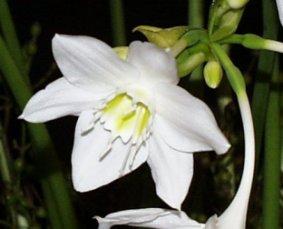 Amazon Lily – Eucharis grandiflora