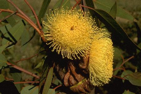 Flowering Eucalyptus – Eucalyptus spp. (E. tetragona and E. youngiana – in picture)