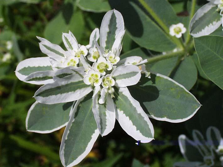 Snow on the Mountain – Euphorbia marginata