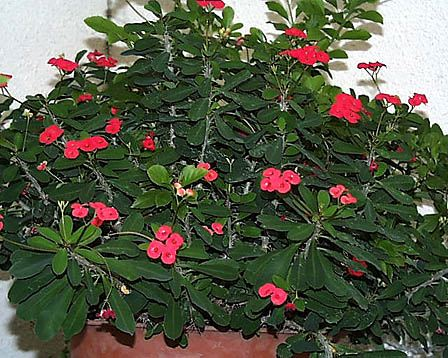 Crown-of-Thorns – Euphorbia milii var. splendens