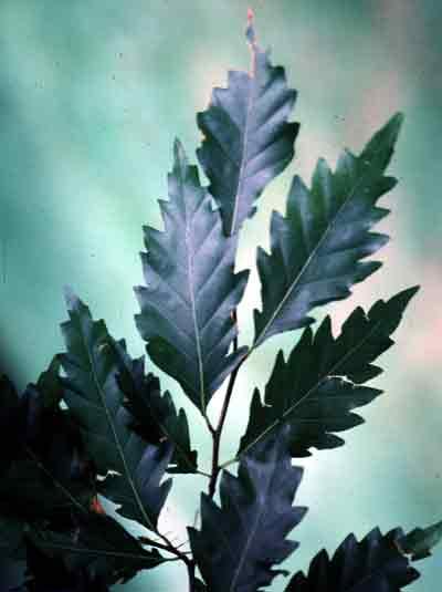 Beech – Fagus sylvatica