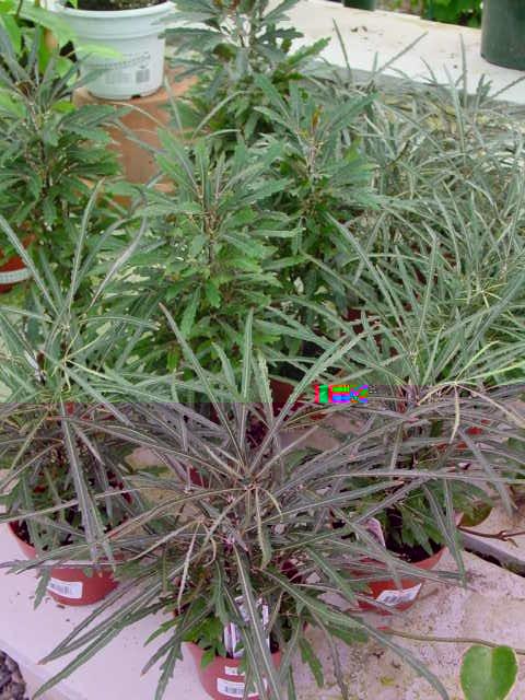 False Aralia – Schefflera elegantissima (Dizygotheca elegantissima)