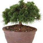 Feb - Dwarf Mugo Pine Bonsai