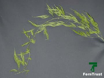 Asparagus Fern – Asparagus setaceus 'Pyramidalis'