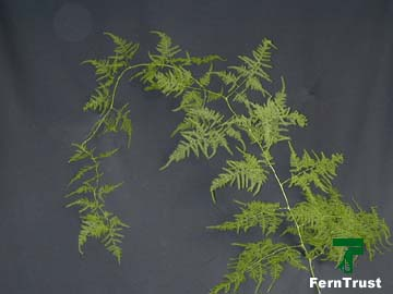 Plumosa – Asparagus setaceus (A. plumosa)