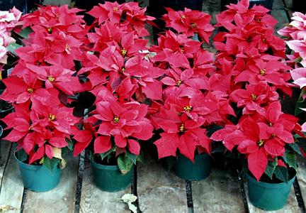 Poinsettia – Euphorbia pulcherrima