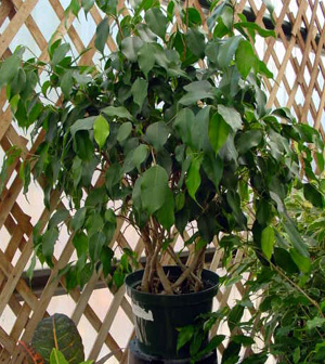 Weeping Fig – Ficus benjamina
