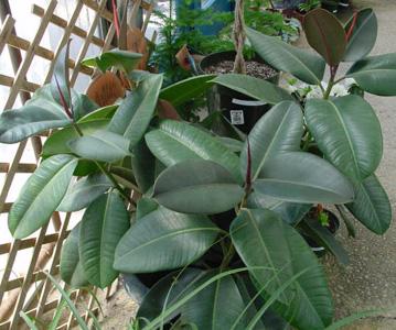 Rubber Plant – Ficus elastica