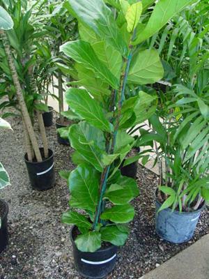 Fiddle-Leaf Fig – Ficus lyrata 'Compacta' and F. lyrata