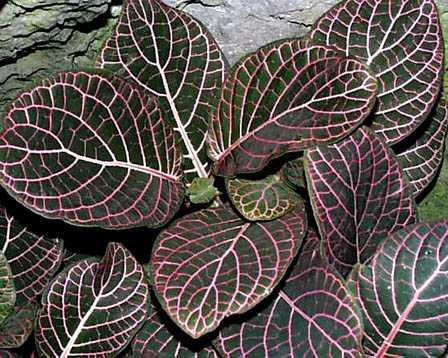 Nerve Plant – Fittonia verschaffeltii