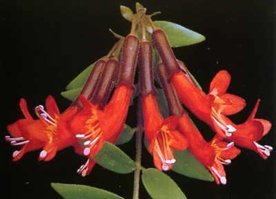 Lipstick Plant – Aeschynanthus pulcher