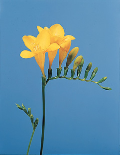 Freesia – Freesia (leichtlinii, refracta or spp.)
