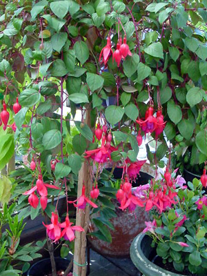 Fuchsia – Fuchsia spp.