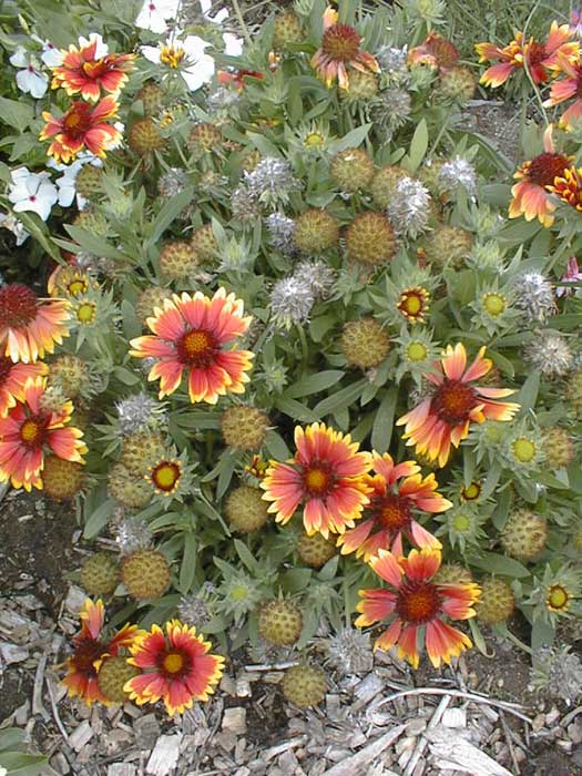 Indian Blanket – Gaillardia pulchella