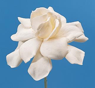 Cape-Jasmine – Gardenia augusta (G. jasminoides)