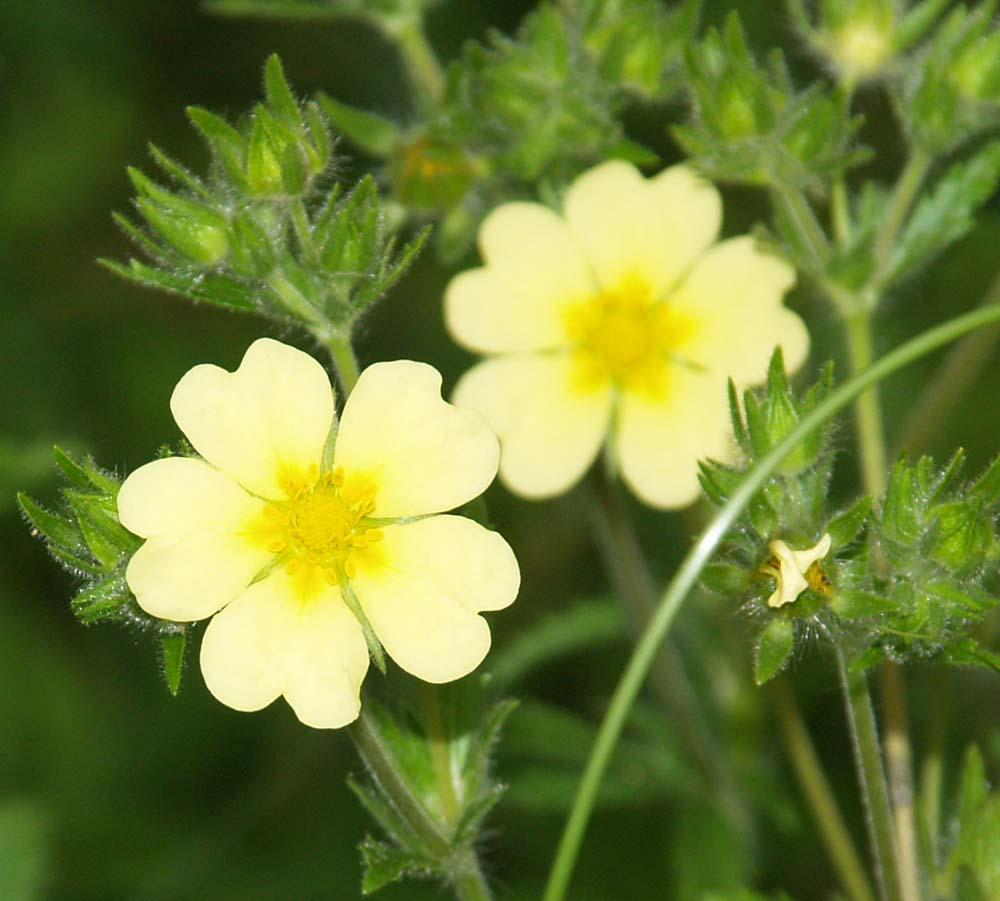 Rough Fruited Cinquefoil