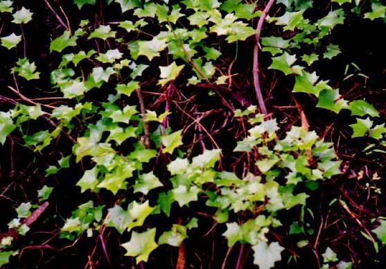 German Ivy – Delairea odorata (Senecio mikanioides)