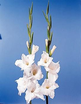 Sword Lily – Gladiolus spp.