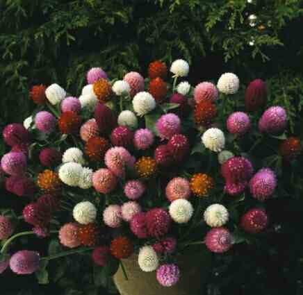 Globe-Amaranth – Gomphrena globosa