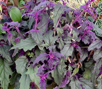 Velvet Plant – Gynura aurantiaca and G. spp.