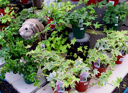 English Ivy – Hedera helix