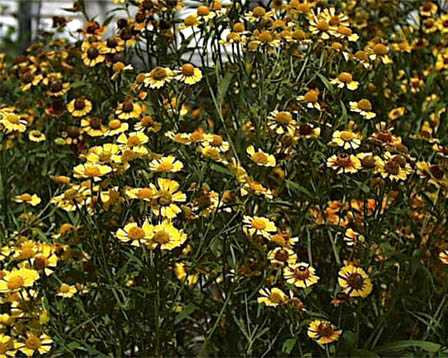 Sneezeweed – Helenium autumnale and H. spp.