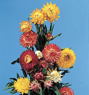 Everlasting Flower – Helichrysum bracteatum