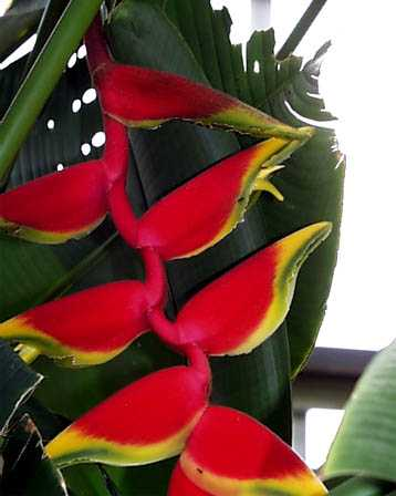 Lobster-Claw Flowers – Heliconia spp.