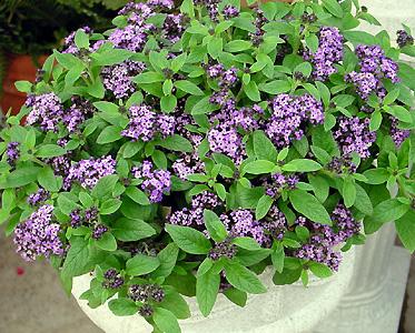 Heliotrope – Heliotropium spp.