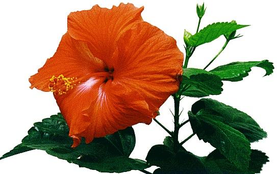 Rose-Mallow – Hibiscus rosa-sinensis