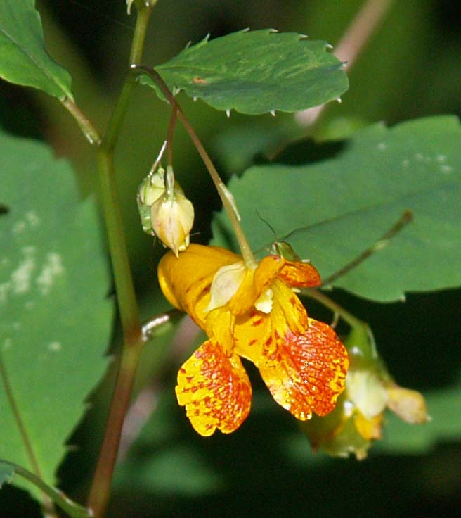 Jewelweed Spotted Touch Me Not Flower
