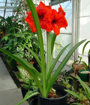 Amaryllis – Hippeastrum spp. (Amaryllis spp.)