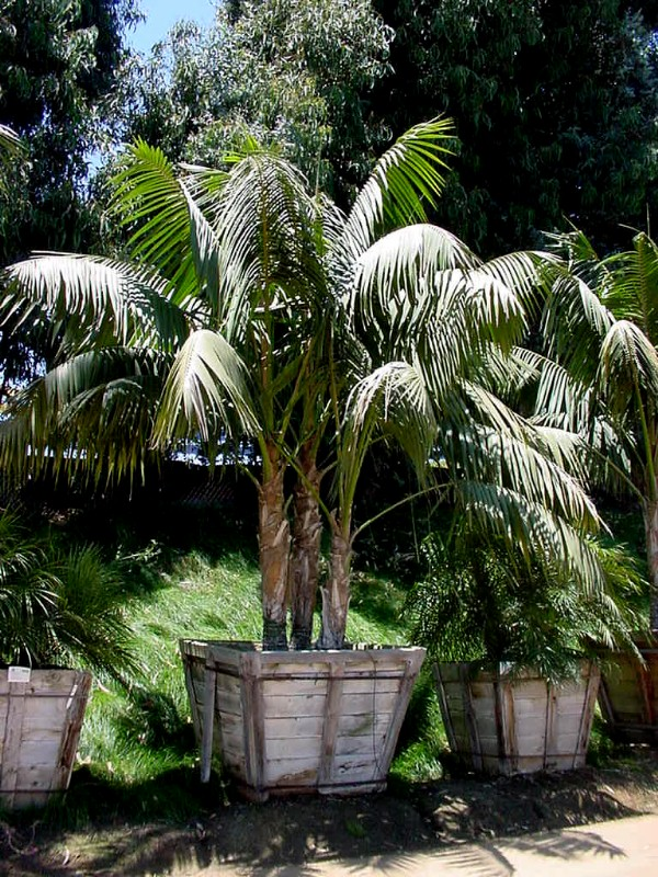 Kentia Palm – Howea forsteriana
