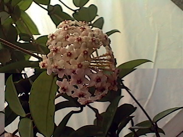Wax Vine – Hoya spp.