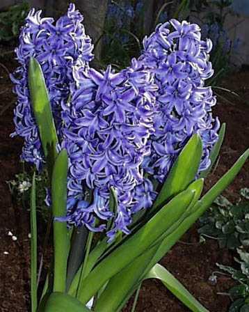 Hyacinth – Hyacinthus orientalis