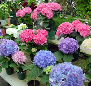 Hydrangea Flower Facts Meanings And Colors Of Hydrangeas