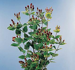 Hypericum – Hypericum androsaemum or H. spp.